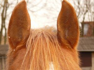 horse-ears-jpg