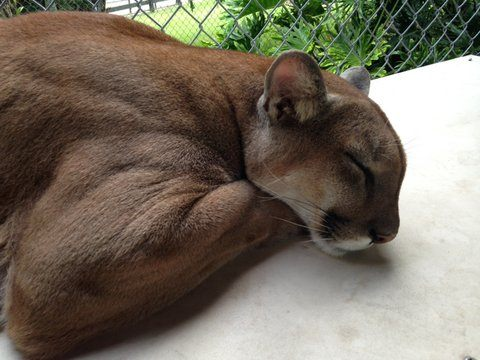 How Animal Communication Saved a Suicidal Cougar