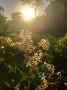 Light Mist Begonias